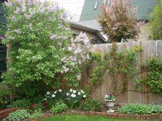 City backyard. Lilacs and climbing rose.