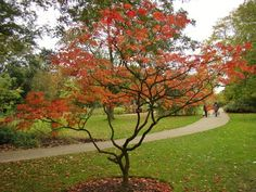 Acer Japonicum Aconitifolium in autumn