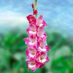 Gladiolus 'Mysterious'