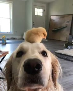 Mom, this beeping dog is on my head :D - Cutest Baby Animals Sweet Dogs, Cute Baby Dogs, Cute Dogs And Puppies, Doggies, Cute Little Animals, Cute Funny Animals, Funny Dogs, Cute Kittens, Cute Puppy Videos