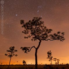 Photo by @CarltonWard: An ancient longleaf pine stands against the night sky at a Nature Conservancy (@nature_org) preserve near Orlando. This property protects an important piece of the Everglades Headwaters and Florida Wildlife Corridor (FL_WildCorridor). #FloridaWild