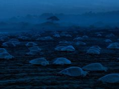 Turtle hatchlings make their way across a beach at night. Photograph by  Jose Manzanilla.