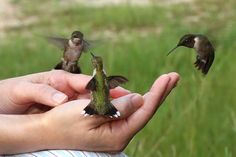 If you have regular hummers at your feeder, remove it and sit in a chair with a red shirt on, holding a cup of feed in your hands...the hummers will literally sit on your hands and eat from the cut...totally cool experience!