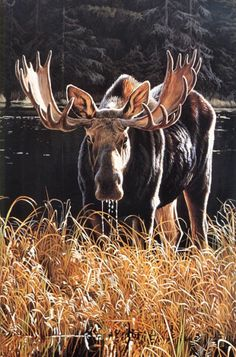 MOOSE ART PRINT Autumn Foraging by Ron Parker 24x36 Wildlife Hunting Poster