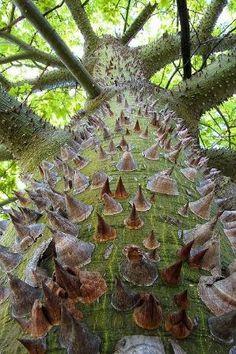 Silk floss tree (chorisia speciosa). by kimberly