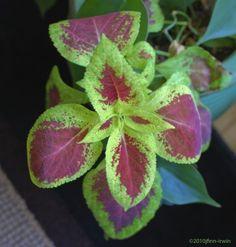 coleus-houseplant Winter Plants, Winter Garden, Summer Plants, Outdoor Plants, Outdoor Gardens, Plants Indoor, Potted Plants, Outdoor Spaces, Outdoor Living