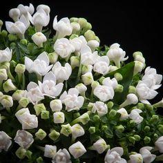 Certi Bouvardia Pearl, wit, boeket, snijbloemen, Certi #Bloemen, #Planten, #webshop, #online bestellen, #rozen, #kamerplanten, #tuinplanten, #bloeiende planten, #snijbloemen, #boeketten, #verzorgingsproducten, #orchideeën
