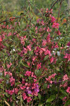 Clarkia unguiculata, Clarkia Elegans