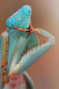 A Giant Malaysian Shield Mantis cleans its tarsus by Igor Siwanowicz