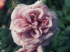 Grey Pearl Roses, give similar effect as a more expensive peony or dahlia