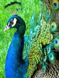 Peacock, Animal, Pride, Ziervogel, Spring Crown