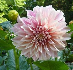Cafe au Lait dahlia. Stake with bamboo.