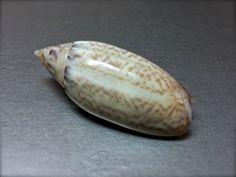 Oliva australis, Australia, 28 mm