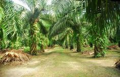 Palm oil and the production of the biofuel biodiesel can be a difficult topic within a lot of conflicts.
