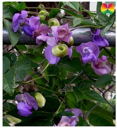 TrumpetFlowers.com∼Brugmansia, Angel Trumpets, Trumpet flowers, for Sale
