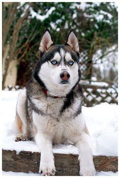 Wonderful All About The Siberian Husky Ideas. Prodigious All About The Siberian Husky Ideas. Alaskan Husky, Siberian Husky Puppies, Alaskan Malamute, Husky Puppy, Siberian Huskies, Husky Breeds, Dog Breeds, Wolf Husky, Snow Dogs