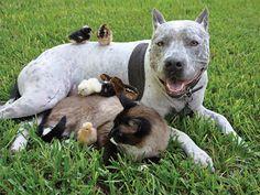 Recent study shows that pit bulls score higher than golden retrievers on temperament test scoring 121