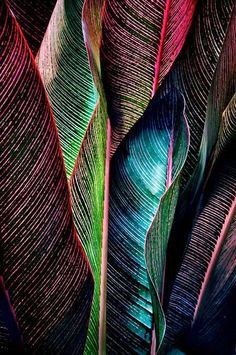 Canna Tropicana leaves.