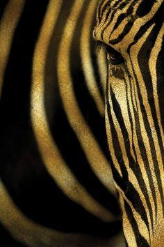Zebra Canvas Art by Alexandre Venancio Gold Leaf Art, Gold Art, Desenio Posters, Zebra Art, Canvas Wall Art, Canvas Prints, Fashion Wall Art, Portrait Art, Art Pictures