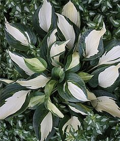 Hosta 'Dancing Stars' Growing Shade Gardens - Article - Gardening Tips and Advice from Burpee.com