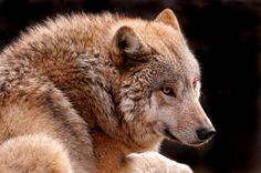 Mongolian wolf http://3.bp.blogspot.com/-DiaWGgbAaiE/TgyOxprOJ0I/AAAAAAAAAmY/neP3Qw-M4EE/s1600/mongolian-wolf.jpg