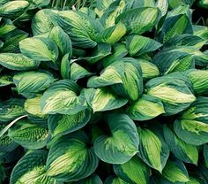 Hosta 'Adrian's Glory' -  Considered the best sport of 'Gold Standard', this variety took 15 years to develop. The thick, rippled, heart-shaped leaves -- broadly margined in blue-green with a narrow chartreuse pattern splashed through the center -- will form a dense mound, luminous in morning sun. Expect spikes of lavender bells in July.
