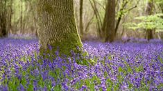 Beautiful Bluebells (Photo courtesy of Mike Boss)