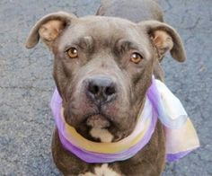 TO BE DESTROYED 02/20/16 A volunteer writes: Sweet Hera was found in the company of gentle Rocky (former Apollo). Hera waits at her door... for someone to come. She looks a little stern but is very soft mannered and welcoming. She and Rocky were someone's pets right before they were brought to the care center. Hera might have had a litter or two. They were used to a home, some company, maybe a yard. And now... a kennel. Hera is a pretty gal who could use a few more pounds but enjoys a well…