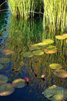 Water Photograph - Water Lilies Reflection by Nancy Mueller