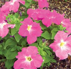 Petunias are easy to grow, bloom reliably all summer and are available in a wide range of colors, flower forms and growth habits.