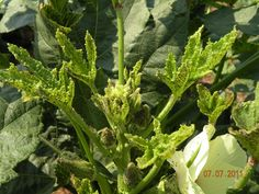 Name that Disease post and podcast--finding help at a land-grant university for your plant disease problems.