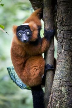 Red ruffed lemur by Michael Angst on 500px