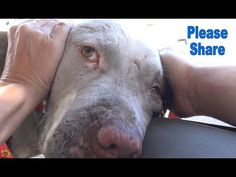 """Homeless Pit Bull Is So Happy to be Rescued 