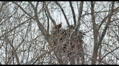 Spring 2017 Burlington Island Bald Eagles