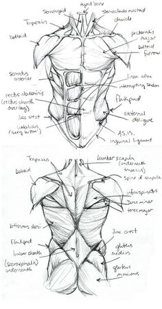 New Ideas for drawing body anatomy study Human Anatomy Drawing, Human Figure Drawing, Anatomy Study, Figure Drawing Tutorial, Human Body Drawing, Anatomy Practice, Drawing Practice, Body Reference Drawing, Anatomy Reference