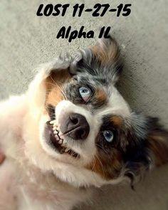 "#LOSTdog 11-27-15 ""Sasha"" #Alpha #IL #AustralianShepherd  Blue Merle #HenryCounty 309-738-4368 Markwilliamson78@gmail.com DO NOT CHASE https://www.facebook.com/AustralianShepherdsLostAndFoundUsa/posts/818338471607953"