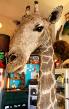 Antique Taxidermy Giraffe by mammothcurios on Etsy, $8000.00