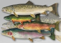 TROUT ART PRINT - a limited edition s/n giclee reproduction of fly fishing art, watercolor print  - by Andy Sewell on Etsy, $69.00
