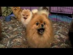 Pomeranians~ Dogs 101 clip~ poms kept Michelangelo company when he painted the Sistene Chapel and also survived the Titanic sinking!