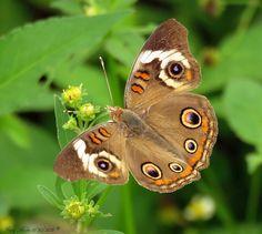 Common Buckeye #flickr #photography