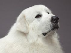 My family dog as i was growing up was a great pyrenees... what incredibly sweet dogs!!! great pyrenees dogs 101 - Google Search