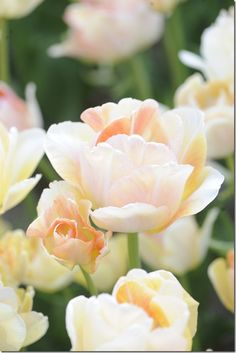 charming lady tulips
