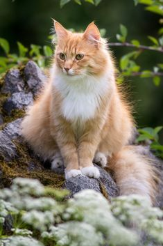 (by Mathias Gr) http://www.mainecoonguide.com/where-to-find-maine-coon-kittens-for-sale/