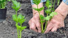 Pěstování celeru   Prima nápady Vegetable Garden, Gardening, Plants, Recipes, Vegetables Garden, Lawn And Garden, Vegetable Gardening, Plant, Veggie Gardens