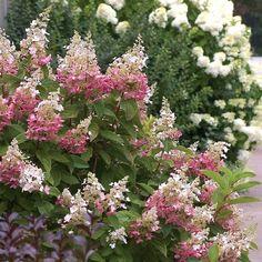Hydrangea paniculata Pinky Winky®   White Flower Farm