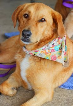 Meet Gretchen, a Petfinder adoptable Yellow Labrador Retriever Dog | Waterville, OH | Gretchen is a 4 year old, 55 pound lab mix who was surrendered to our rescue. Even though she is a...