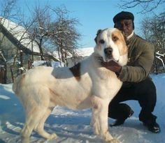 Dagar, the Central Asian Ovtcharka at 15 months old and weighing about 173lbs (79Kg).