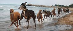 #greyhound #borntorun