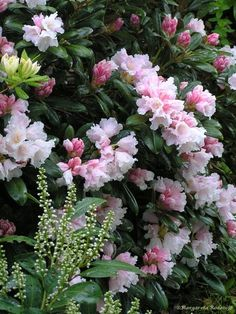 rhododendronsvar sökes