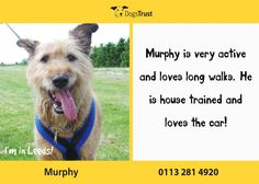 Murphy is a very handsome 8 year old at Dogs Trust Leeds. He lacks in confidence and would benefit from a quiet home without children or many visitors. Despite being 8, Murphy is very active and loves long walks. He is very foody and ok to manage out and about.